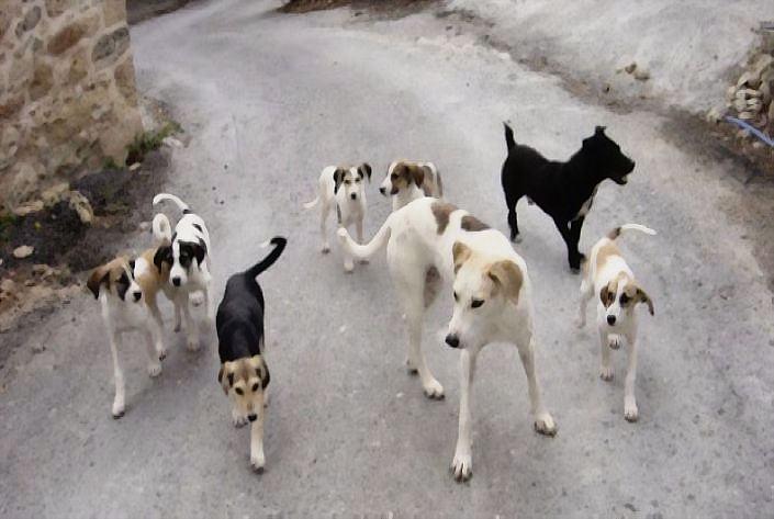 σκυλιά_DCE