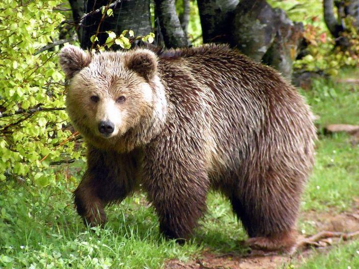 Αρκούδα κατασπάραξε κότες στην Θεοτόκο Καλαμπάκας